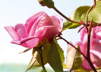 Roses et Reines